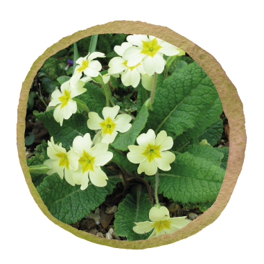Native British Primrose