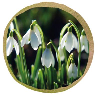 Native British Snowdrop