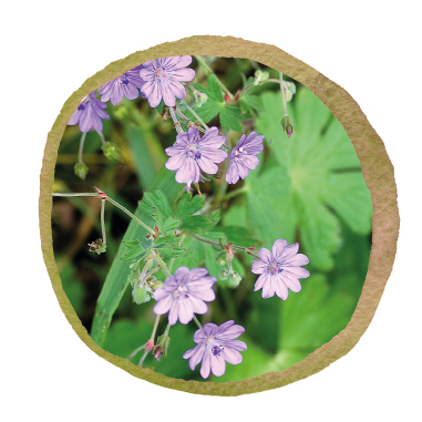 Native British Wild Geranium