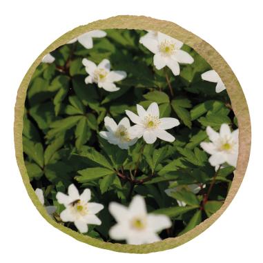 Native British Wood Anemone Rhizomes