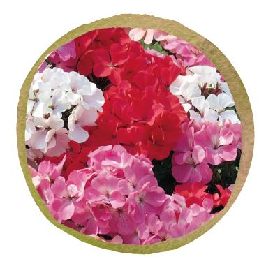 Non native Geranium (Pelargonium)
